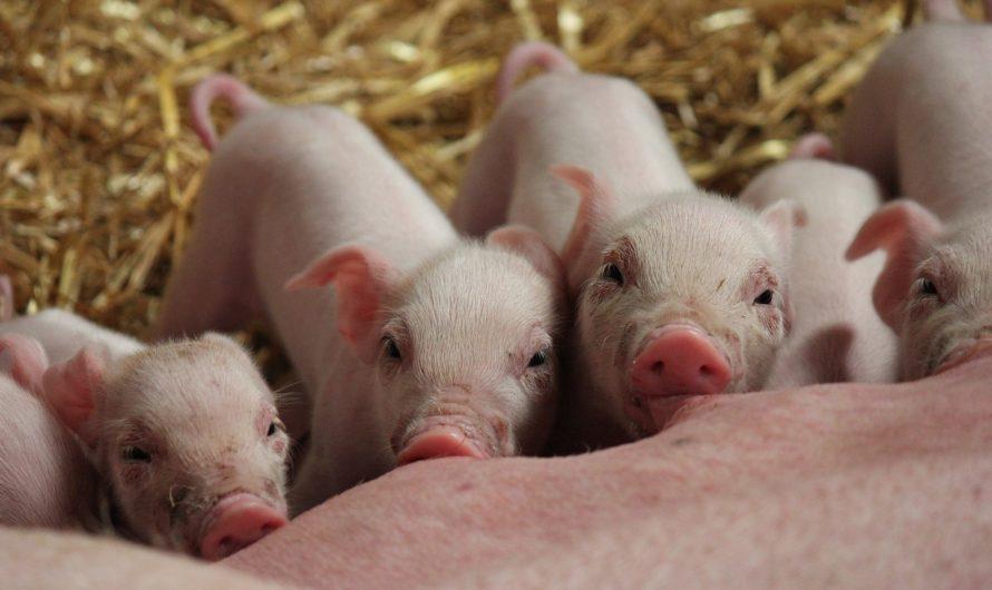 Продам свиноферму в Керчи